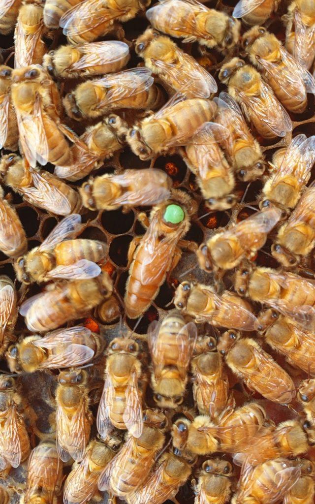 Ligustica (Italienische) Königinnen