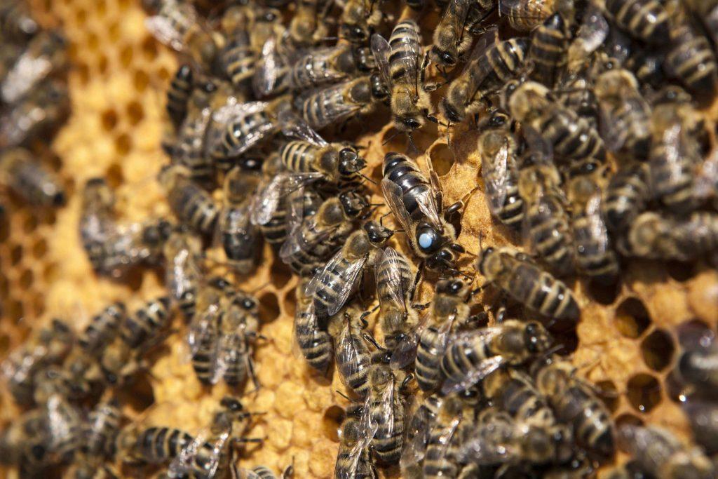 Matki pszczele Kaukaska