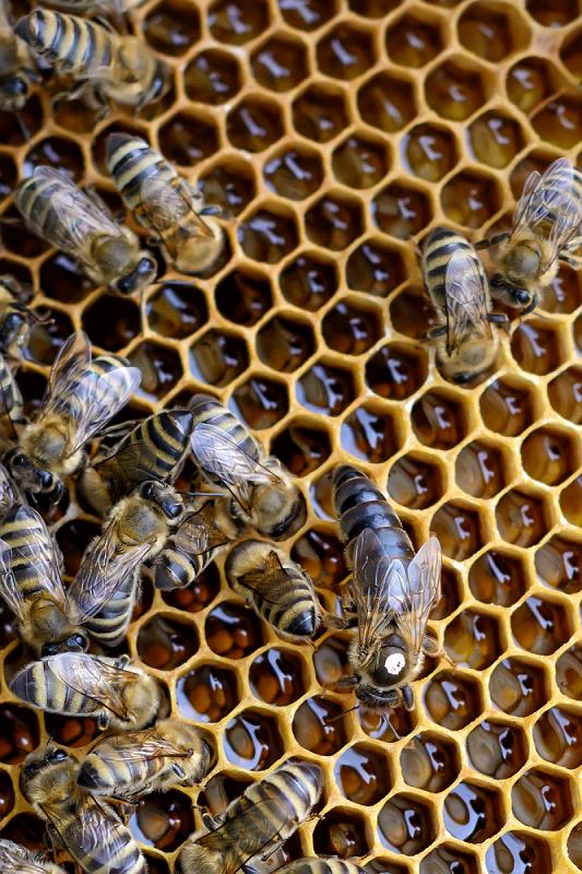 Matki pszczele Krainka