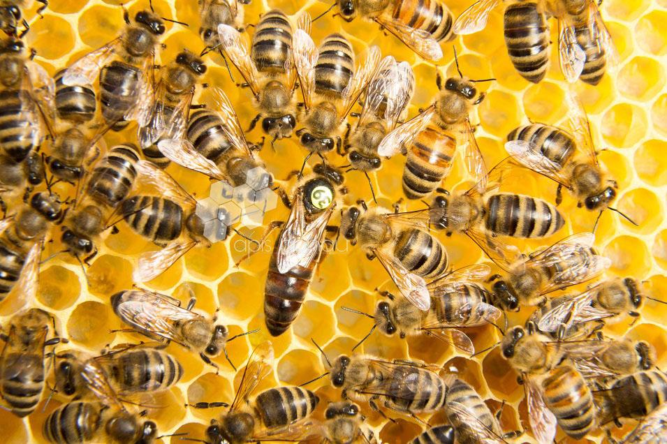 L'abeille carniolienne