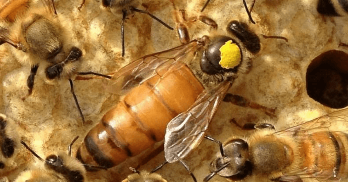 Managing the controlled mating of Buckfast Queen Bees