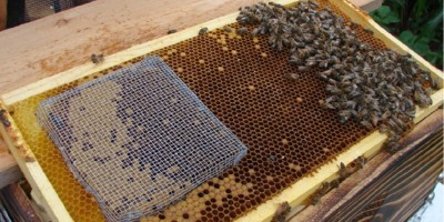 The introduction of a queen bee from a different race in a colony