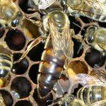 Caucasian Queens bee