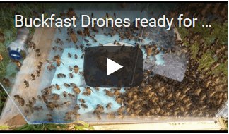 video buckfast drone Apis Donau