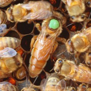 Italian (Ligustica) Selected Breeder Queen